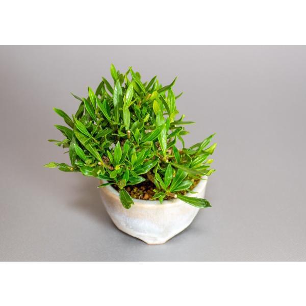 ミニ盆栽 クチナシ盆栽 梔子(くちなし・小盆栽 小葉性のクチナシ喜代誉)小さな盆栽 3933|e-bonsai|05