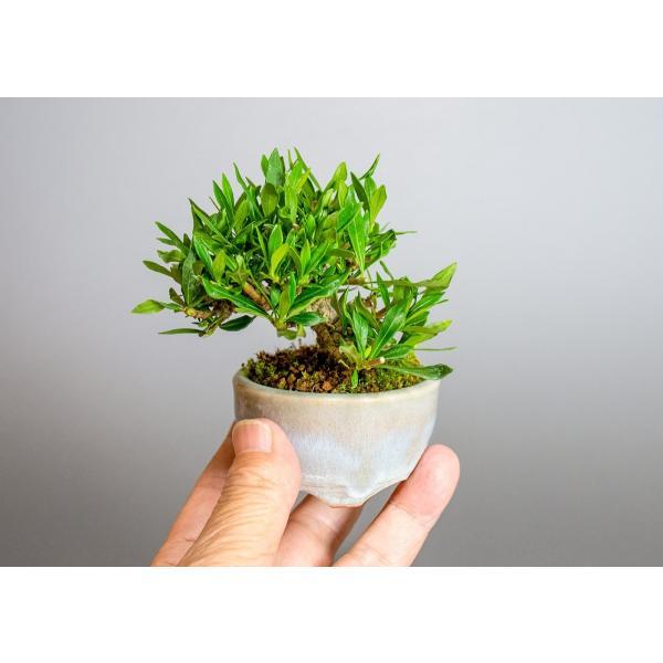 ミニ盆栽 クチナシ盆栽 梔子(くちなし・小盆栽 小葉性のクチナシ喜代誉)小さな盆栽 3933|e-bonsai|06