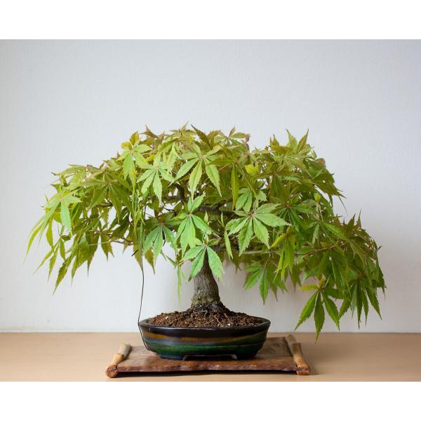盆栽 モミジ ベニカガミ盆栽(べにかがみ・紅鏡紅葉盆栽)小品盆栽 4033|e-bonsai|02
