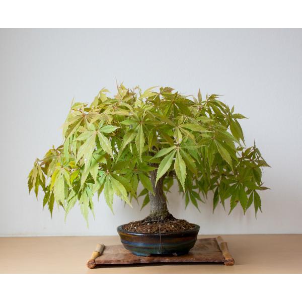 盆栽 モミジ ベニカガミ盆栽(べにかがみ・紅鏡紅葉盆栽)小品盆栽 4033|e-bonsai|03