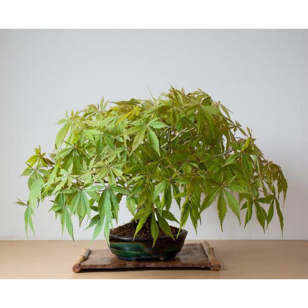 盆栽 モミジ ベニカガミ盆栽(べにかがみ・紅鏡紅葉盆栽)小品盆栽 4033|e-bonsai|04