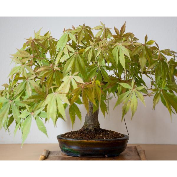 盆栽 モミジ ベニカガミ盆栽(べにかがみ・紅鏡紅葉盆栽)小品盆栽 4033|e-bonsai|05