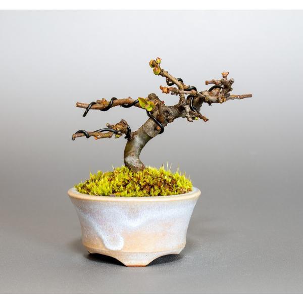 ミニ盆栽 カリン盆栽 花梨(かりん・小さな盆栽 花梨)小盆栽 4037 e-bonsai