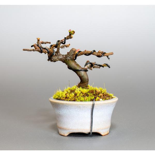 ミニ盆栽 カリン盆栽 花梨(かりん・小さな盆栽 花梨)小盆栽 4037 e-bonsai 02