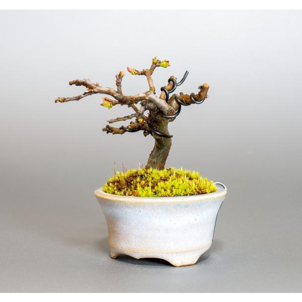 ミニ盆栽 カリン盆栽 花梨(かりん・小さな盆栽 花梨)小盆栽 4037 e-bonsai 03