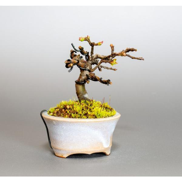 ミニ盆栽 カリン盆栽 花梨(かりん・小さな盆栽 花梨)小盆栽 4037 e-bonsai 04