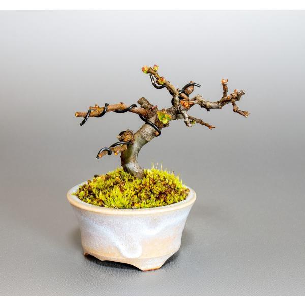 ミニ盆栽 カリン盆栽 花梨(かりん・小さな盆栽 花梨)小盆栽 4037 e-bonsai 05