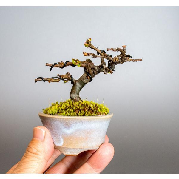ミニ盆栽 カリン盆栽 花梨(かりん・小さな盆栽 花梨)小盆栽 4037 e-bonsai 06