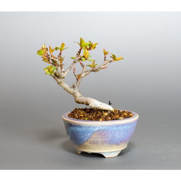 ミニ盆栽 マメナシ盆栽 豆梨(まめなし・小さな盆栽 豆梨)小盆栽 4049|e-bonsai|03