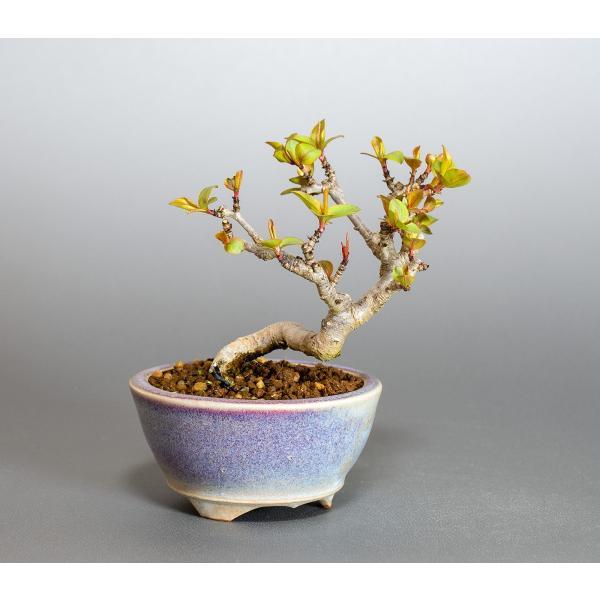 ミニ盆栽 マメナシ盆栽 豆梨(まめなし・小さな盆栽 豆梨)小盆栽 4049|e-bonsai|04
