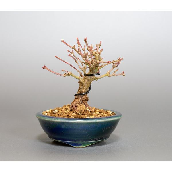 ミニ盆栽 イロハモミジ盆栽 紅葉(いろは紅葉・小さな盆栽 紅葉)4050|e-bonsai