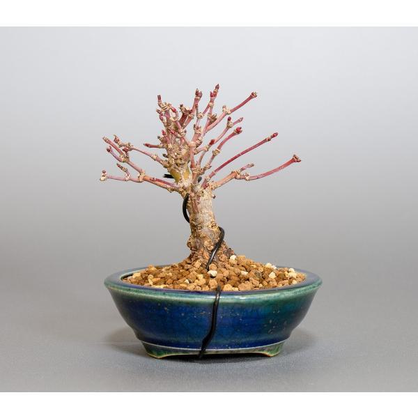 ミニ盆栽 イロハモミジ盆栽 紅葉(いろは紅葉・小さな盆栽 紅葉)4050|e-bonsai|02