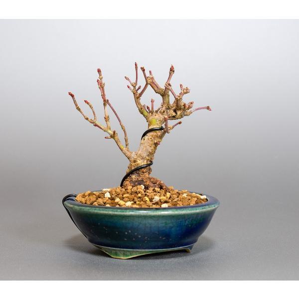ミニ盆栽 イロハモミジ盆栽 紅葉(いろは紅葉・小さな盆栽 紅葉)4050|e-bonsai|04