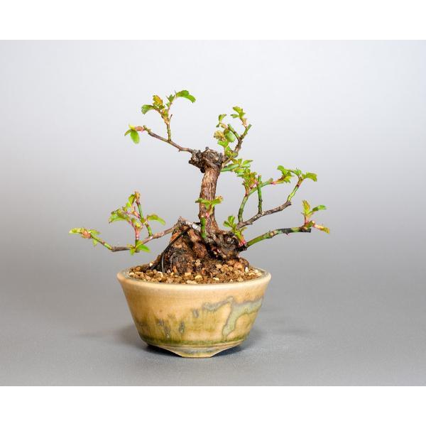 ミニ盆栽 ノバラ盆栽 野薔薇(のばら・小さな盆栽 野バラ)小盆栽 4052|e-bonsai