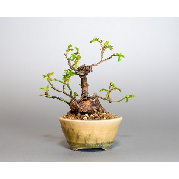 ミニ盆栽 ノバラ盆栽 野薔薇(のばら・小さな盆栽 野バラ)小盆栽 4052|e-bonsai|02