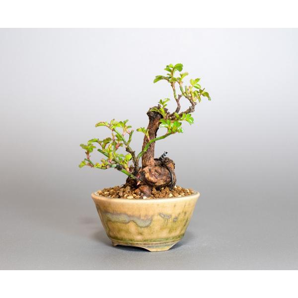 ミニ盆栽 ノバラ盆栽 野薔薇(のばら・小さな盆栽 野バラ)小盆栽 4052|e-bonsai|03