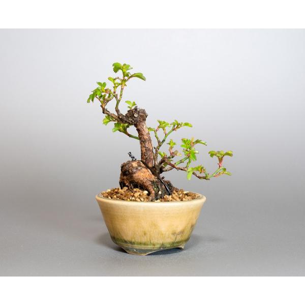 ミニ盆栽 ノバラ盆栽 野薔薇(のばら・小さな盆栽 野バラ)小盆栽 4052|e-bonsai|04