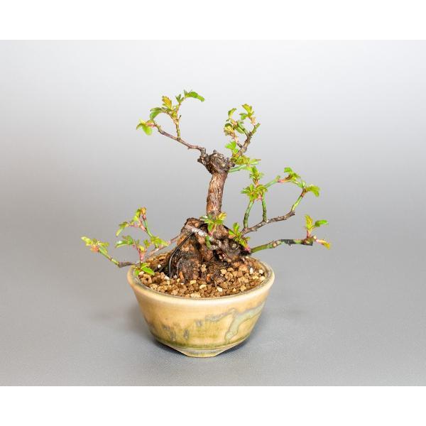 ミニ盆栽 ノバラ盆栽 野薔薇(のばら・小さな盆栽 野バラ)小盆栽 4052|e-bonsai|05