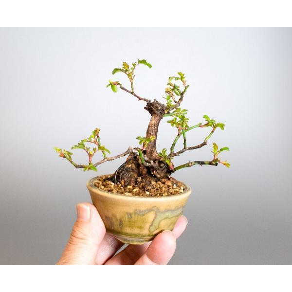 ミニ盆栽 ノバラ盆栽 野薔薇(のばら・小さな盆栽 野バラ)小盆栽 4052|e-bonsai|06