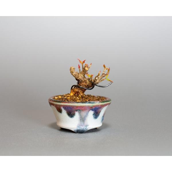プチ盆栽 トウカエデ盆栽 唐楓(とうかえで・プチ盆栽 唐楓)小さな盆栽 4061 e-bonsai