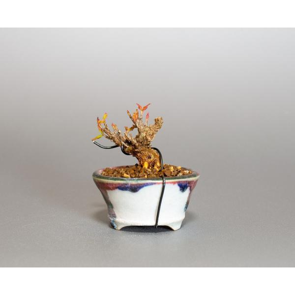プチ盆栽 トウカエデ盆栽 唐楓(とうかえで・プチ盆栽 唐楓)小さな盆栽 4061 e-bonsai 02