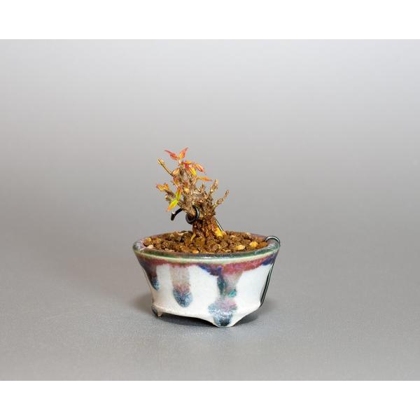 プチ盆栽 トウカエデ盆栽 唐楓(とうかえで・プチ盆栽 唐楓)小さな盆栽 4061 e-bonsai 03