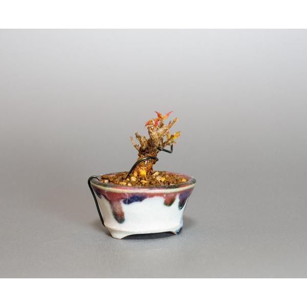 プチ盆栽 トウカエデ盆栽 唐楓(とうかえで・プチ盆栽 唐楓)小さな盆栽 4061 e-bonsai 04