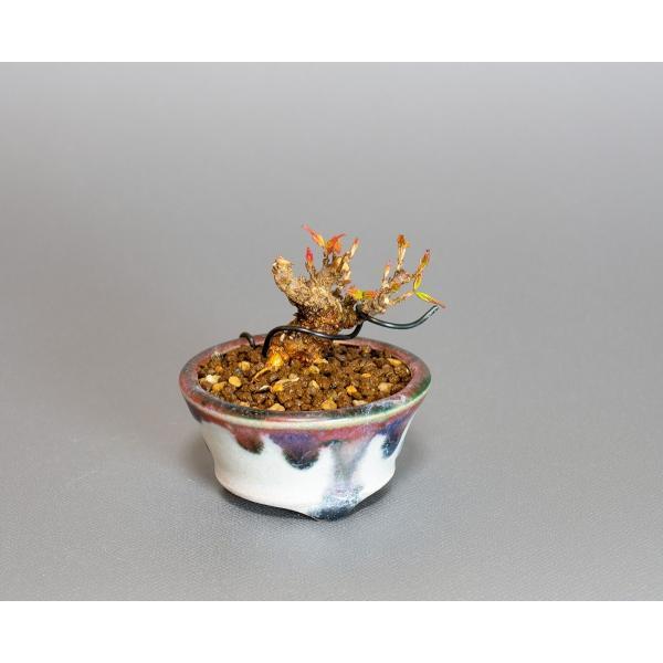 プチ盆栽 トウカエデ盆栽 唐楓(とうかえで・プチ盆栽 唐楓)小さな盆栽 4061 e-bonsai 05