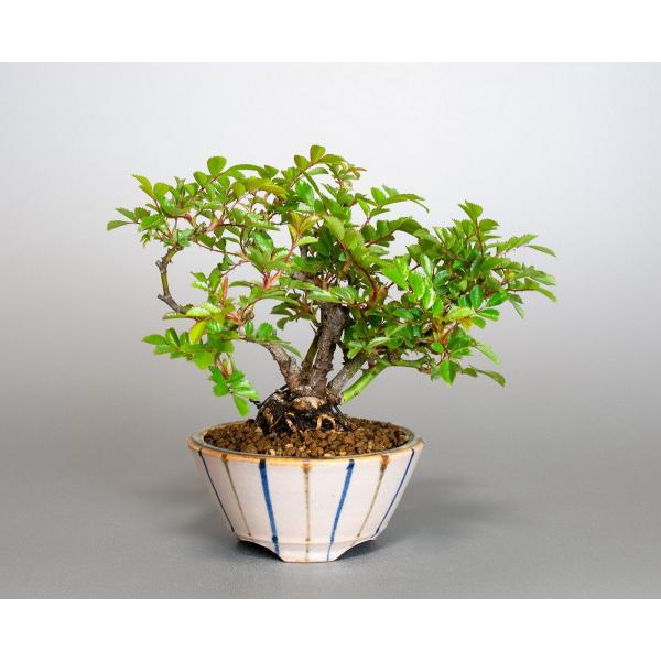 盆栽 ノバラ盆栽 野ばら (のばら・盆栽 野薔薇)小品盆栽 4072|e-bonsai