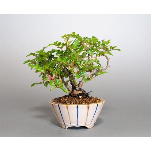 盆栽 ノバラ盆栽 野ばら (のばら・盆栽 野薔薇)小品盆栽 4072|e-bonsai|02