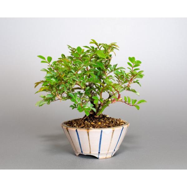 盆栽 ノバラ盆栽 野ばら (のばら・盆栽 野薔薇)小品盆栽 4072|e-bonsai|03