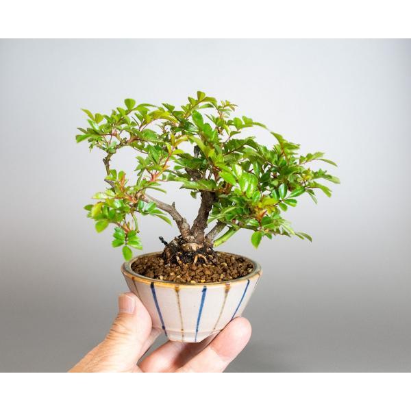 盆栽 ノバラ盆栽 野ばら (のばら・盆栽 野薔薇)小品盆栽 4072|e-bonsai|05