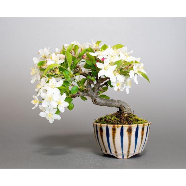 盆栽 ズミ盆栽 酢実(ずみ・酢実盆栽)小さな盆栽 4076|e-bonsai|02