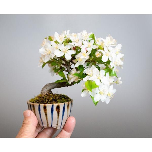 盆栽 ズミ盆栽 酢実(ずみ・酢実盆栽)小さな盆栽 4076|e-bonsai|05
