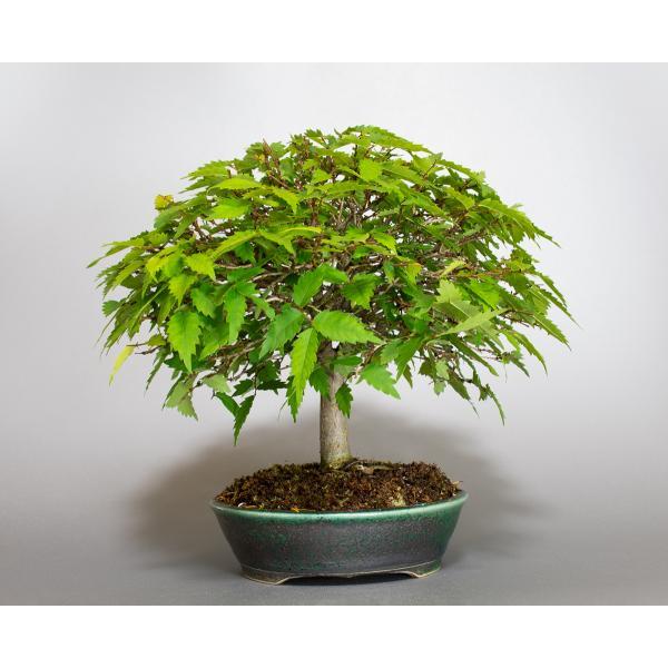 盆栽 ケヤキ盆栽 欅(けやき・ミニ盆栽 箒立ち欅)小品盆栽 4099|e-bonsai|02