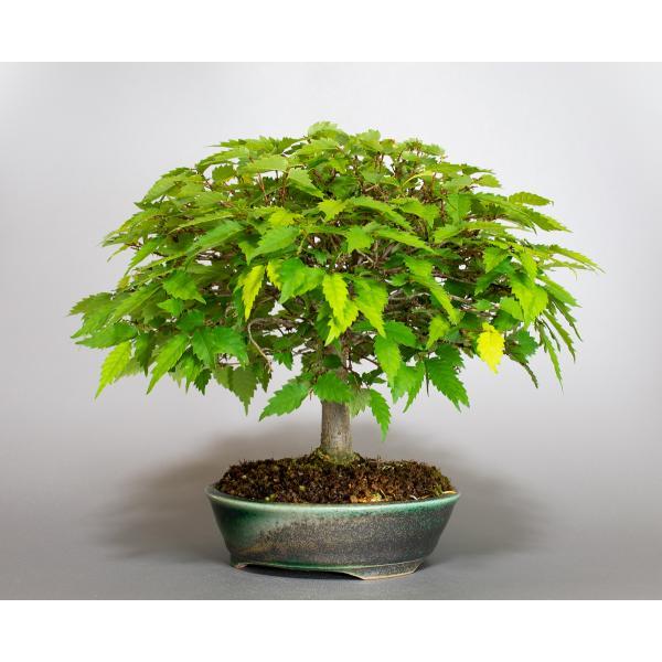 盆栽 ケヤキ盆栽 欅(けやき・ミニ盆栽 箒立ち欅)小品盆栽 4099|e-bonsai|03