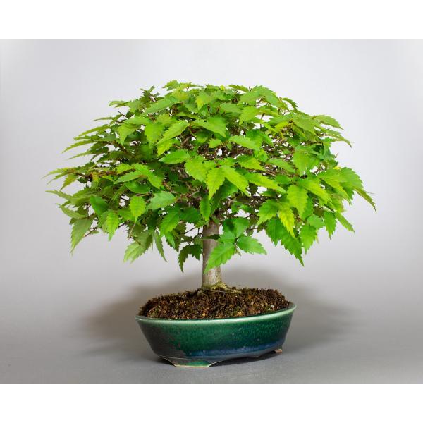 盆栽 ケヤキ盆栽 欅(けやき・ミニ盆栽 箒立ち欅)小品盆栽 4099|e-bonsai|04