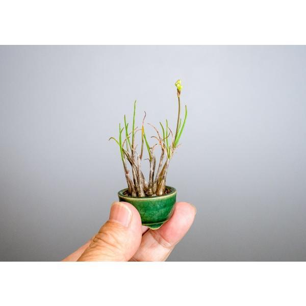 草もの盆栽 ヤマラッキョウ草盆栽 山辣韮(やまらっきょう・草盆栽 山辣韮) 草盆栽 k0001|e-bonsai|05