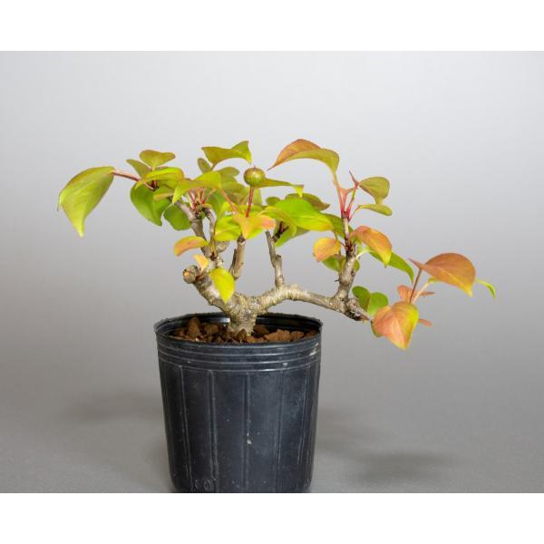 盆栽用苗 盆栽素材 マメナシ盆栽 ミニ盆栽素材(まめなし・盆栽 豆梨)m0016|e-bonsai
