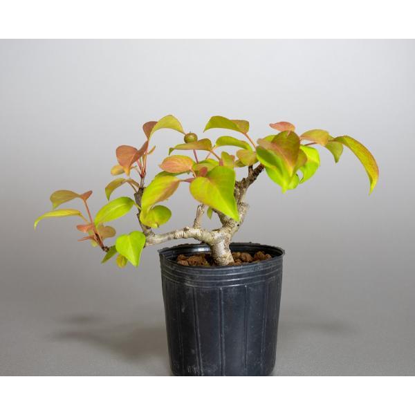 盆栽用苗 盆栽素材 マメナシ盆栽 ミニ盆栽素材(まめなし・盆栽 豆梨)m0016|e-bonsai|02