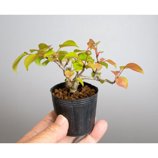 盆栽用苗 盆栽素材 マメナシ盆栽 ミニ盆栽素材(まめなし・盆栽 豆梨)m0016|e-bonsai|05