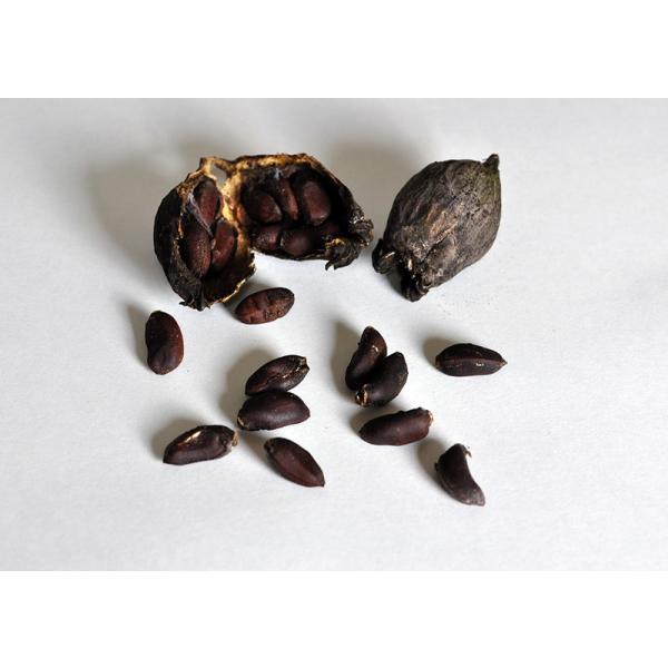 盆栽種子 ロウバイの種子・蝋梅・ろうばい盆栽 種子・s020|e-bonsai