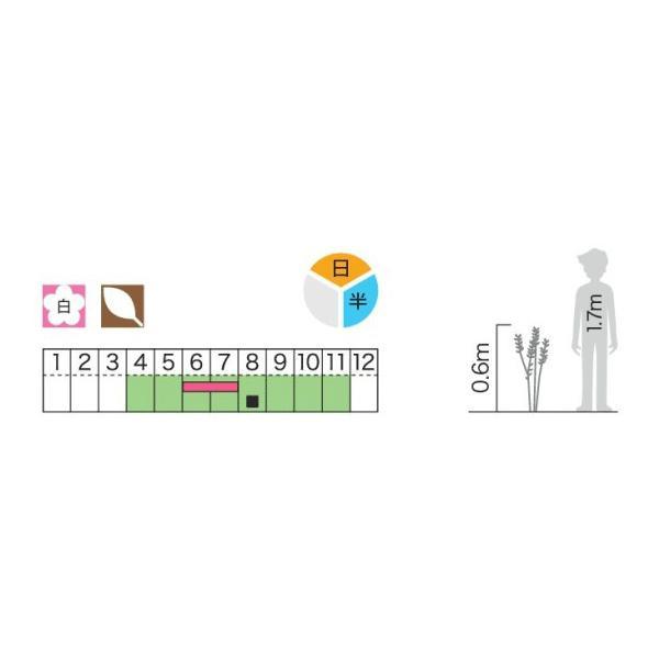 アジサイ(紫陽花)カシワバアジサイ(柏葉紫陽花)白花 植木 庭木 苗木 落葉低木 e-housemania 03