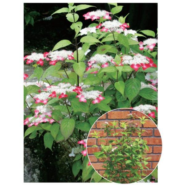 アジサイ(紫陽花)・クレナイ ヤマアジサイ 紅色花 植木 庭木 苗木 e-housemania