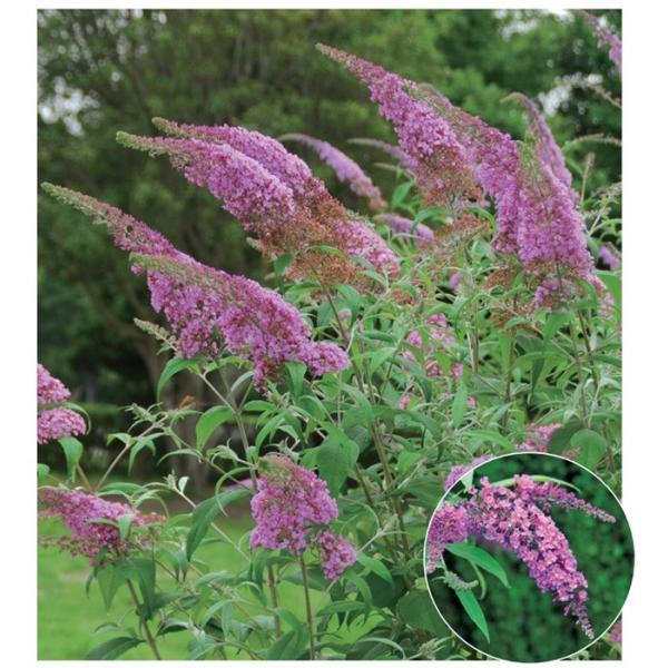 ブッドレア(フジウツギ)紫色花 香りよし 植木 庭木 苗木 落葉低木|e-housemania