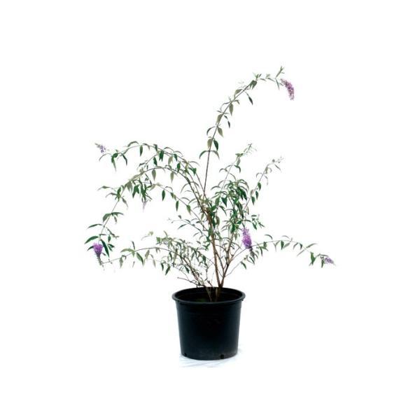 ブッドレア(フジウツギ)紫色花 香りよし 植木 庭木 苗木 落葉低木|e-housemania|02