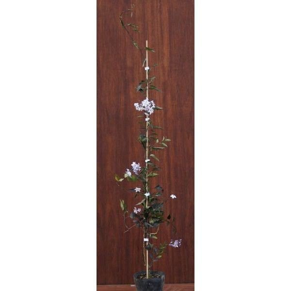 緑のカーテン ツル性植物 ツルハナナス 蔓花茄子(大株) 白花 常緑つる性低木|e-housemania|02