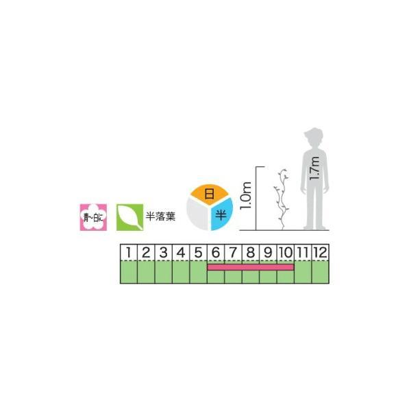緑のカーテン ツル性植物 ツルハナナス 蔓花茄子(大株) 白花 常緑つる性低木|e-housemania|03