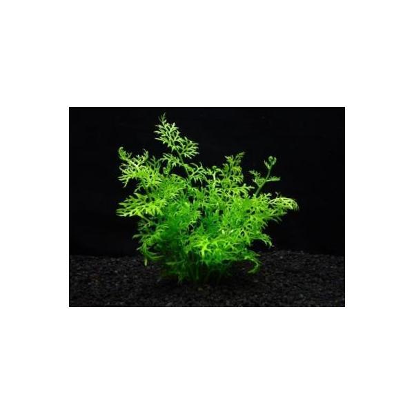 (水草)アメリカン スプライト(3本) ◆丈夫な水生シダ◆ 国産