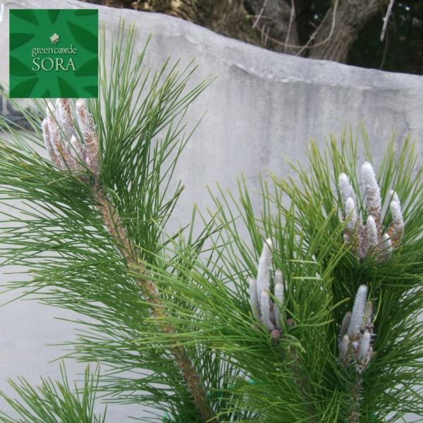 クロマツ H1100〜1300mm 10本 鉢底より 植木 苗